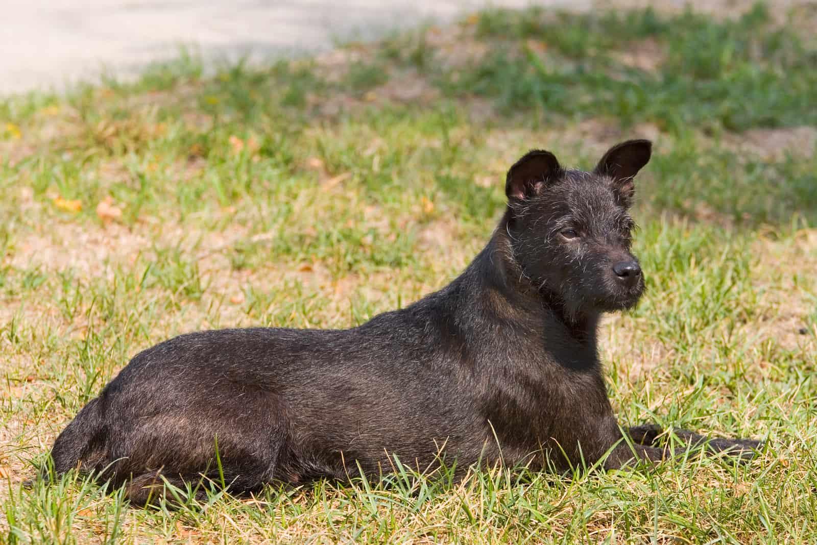 Patterdale Terrier ruht