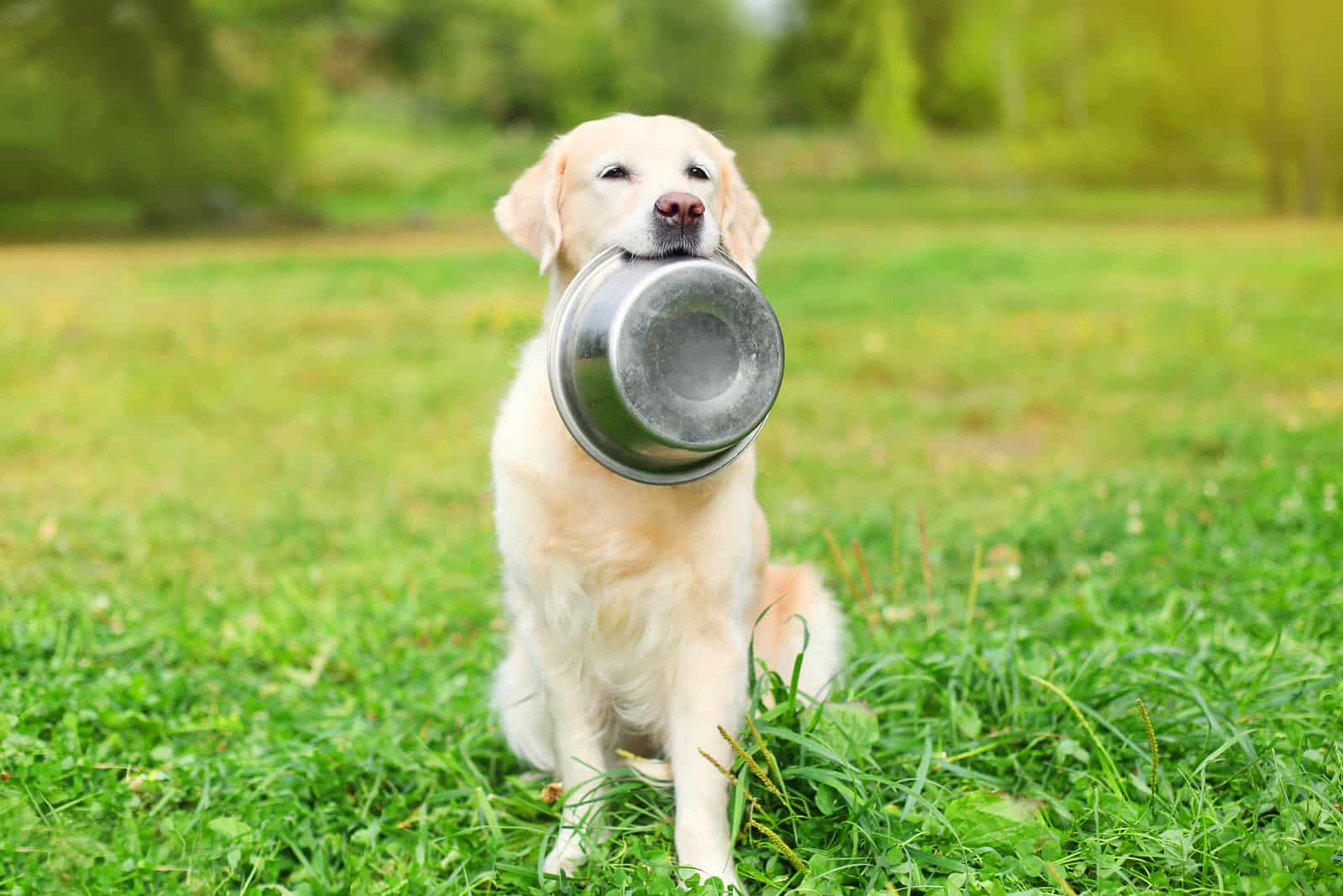 Schöner Golden Retriever Hund, der in den Zähnen eine Schüssel auf Gras hält