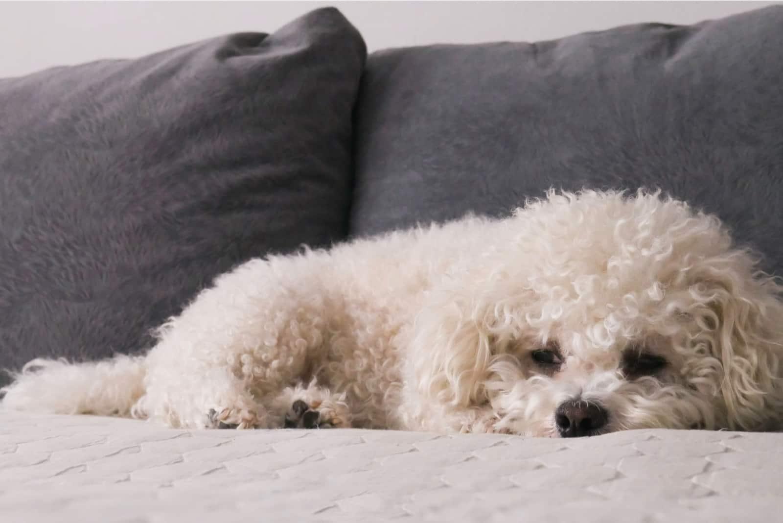 Weißer Bichon Frise auf dem Bett