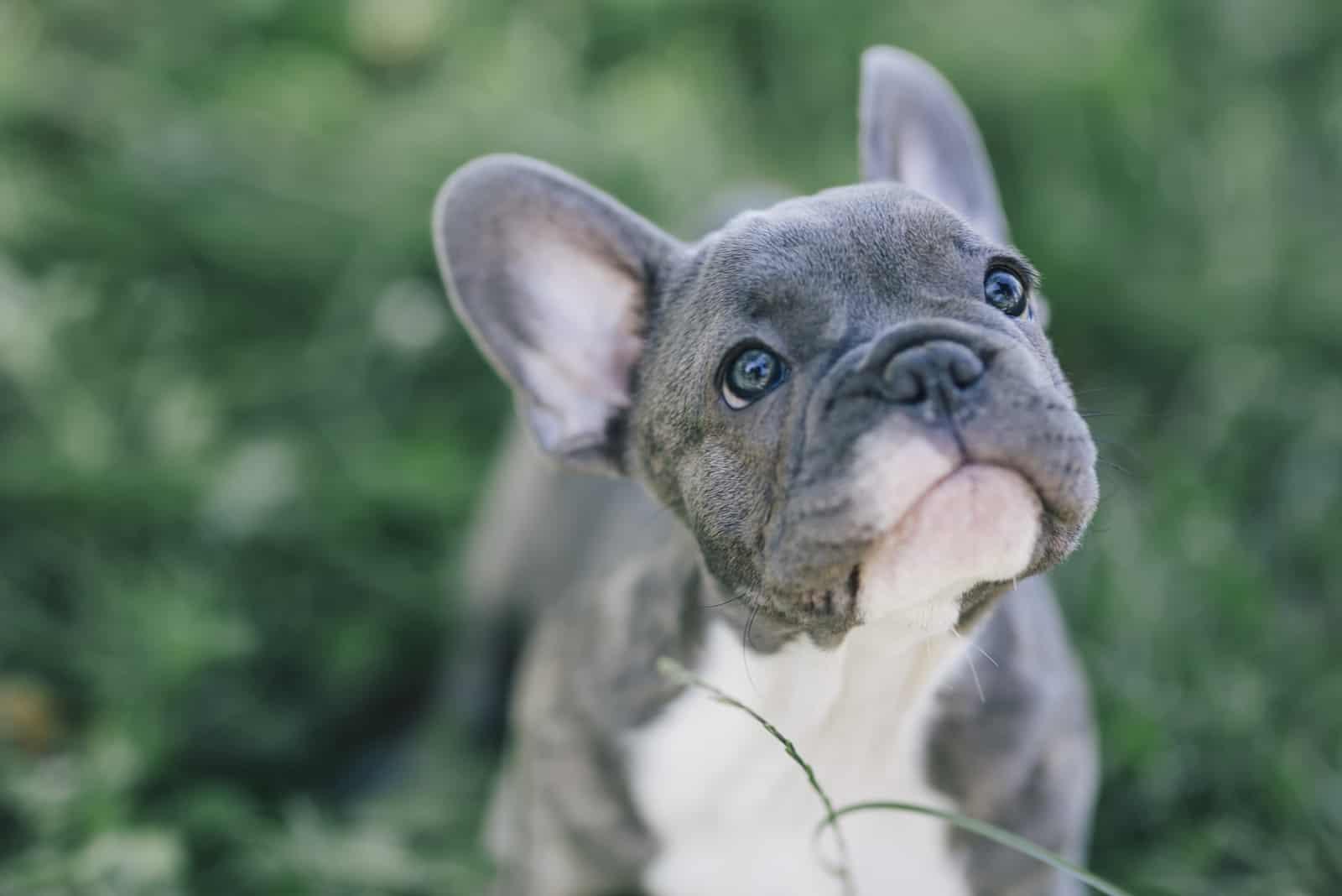 blaue französische Bulldogge Welpe