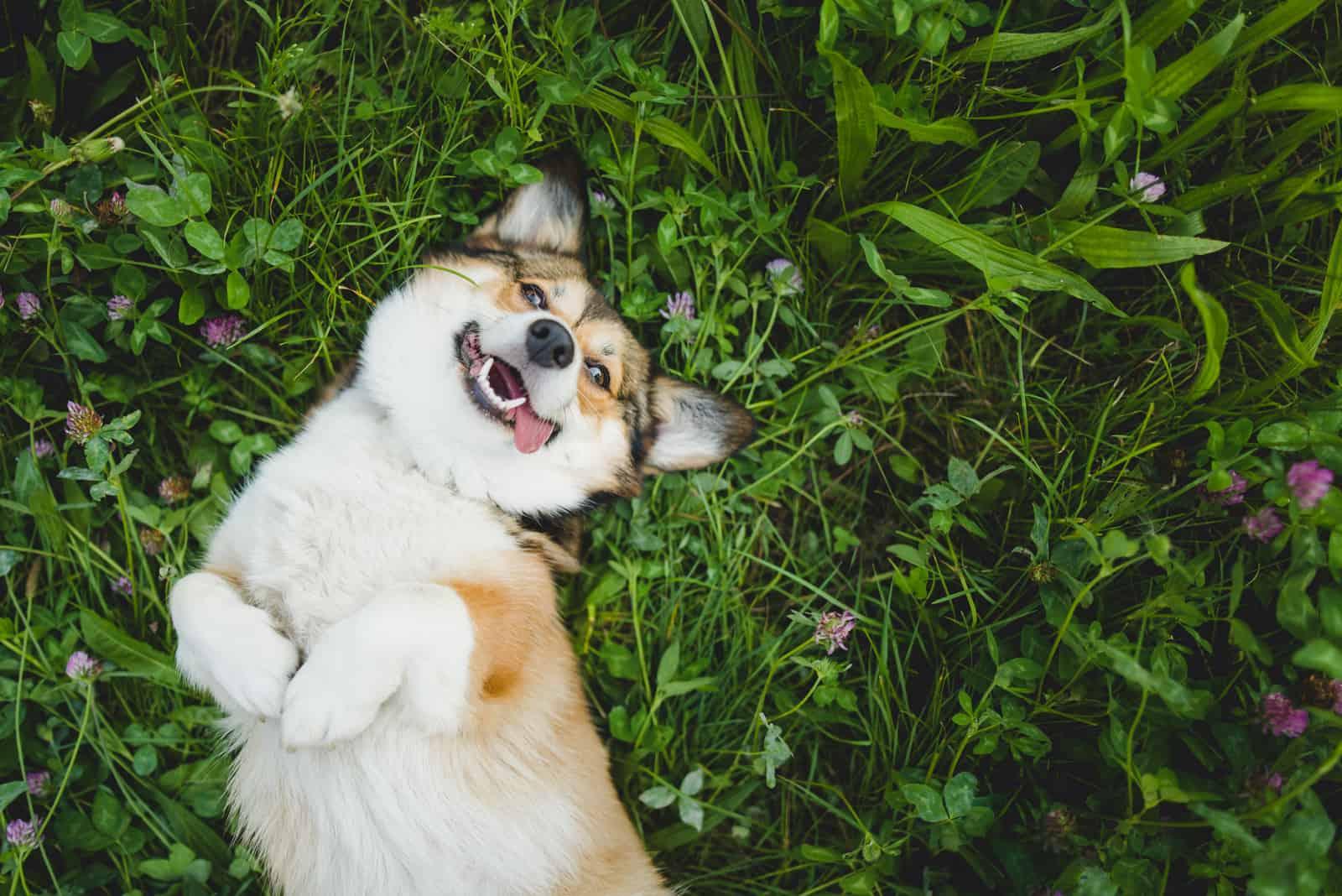lächelnder walisischer Corgi-Pembroke-Hund, der sich auf ein Gras legt