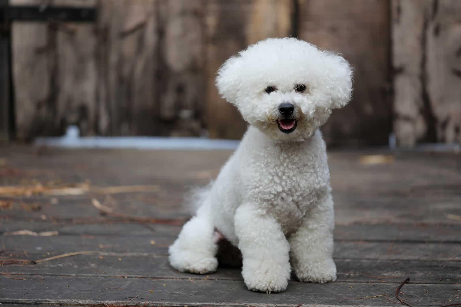 reinrassiger Bichon Frise Hund mit einem weißen flauschigen Fell