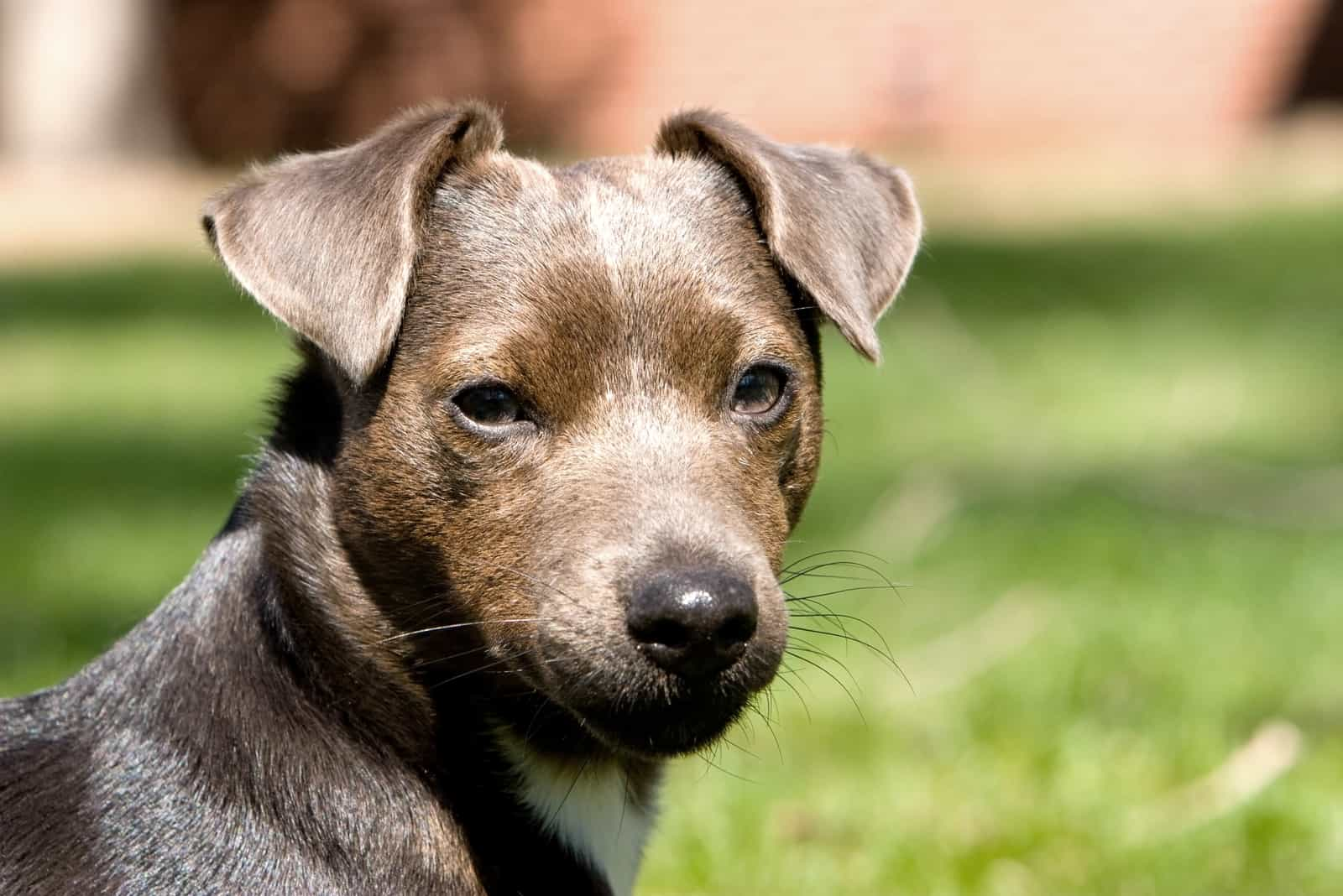 schöner blaugrauer Patterdale Terrier Hund