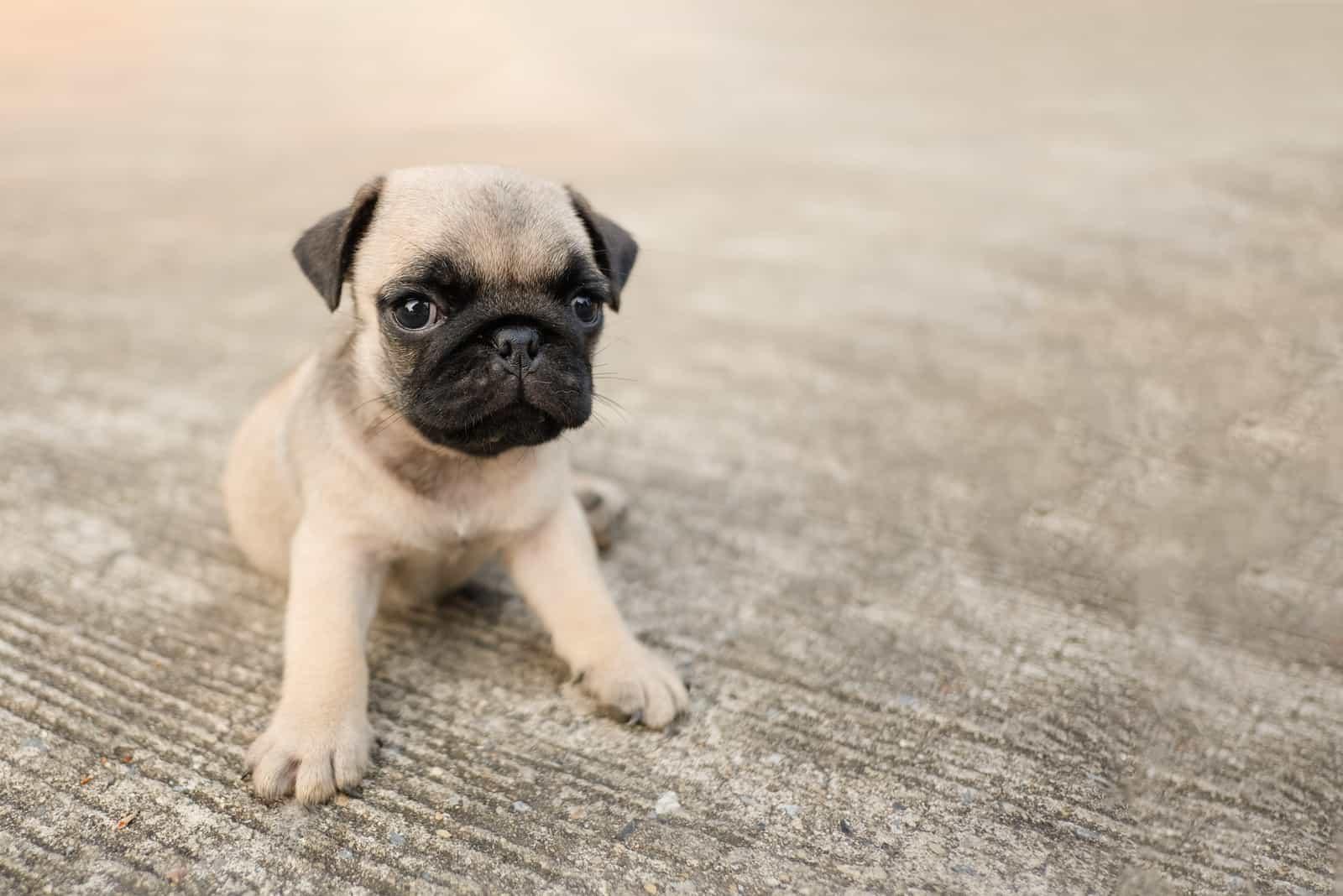 süßer kleiner Hundewelpe