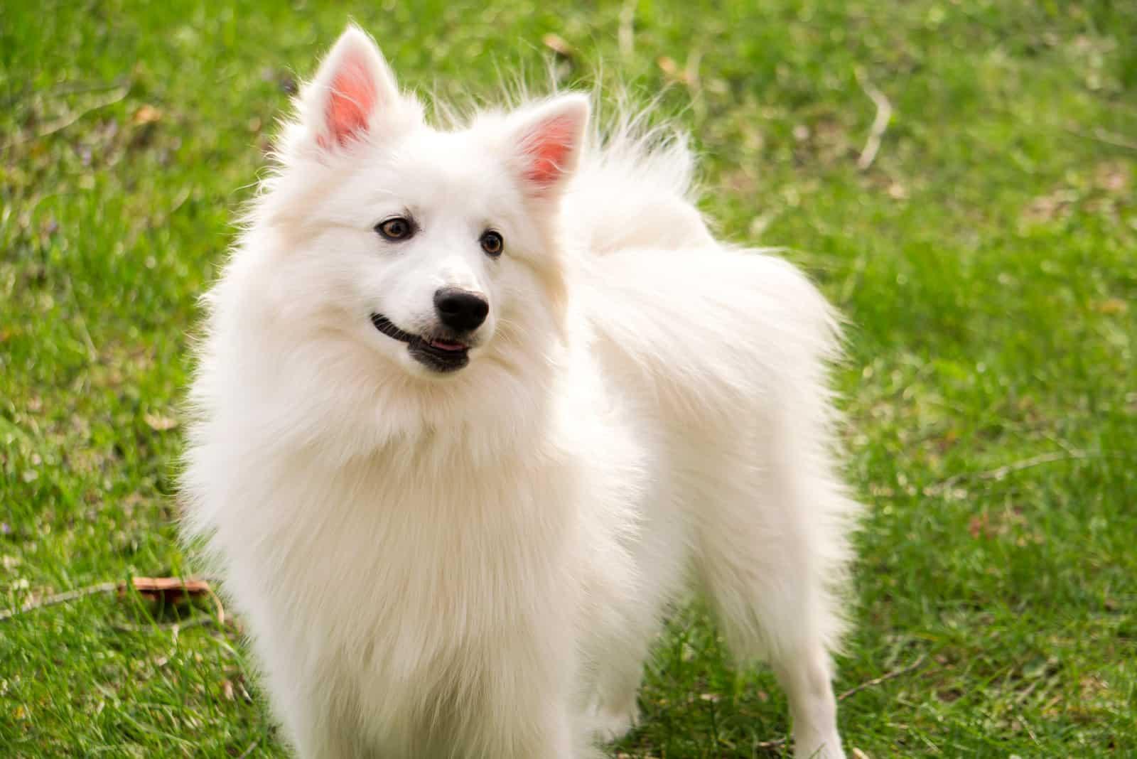 weißer amerikanischer Eskimohund, der auf dem Gras steht