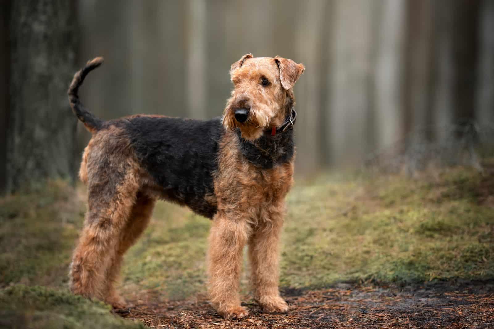 Airedale Terrier Hund steht draußen im Wald
