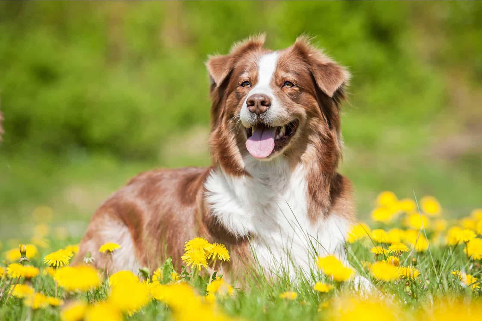 Australischer Schäferhund, der mit Löwenzahn auf dem Rasen liegt