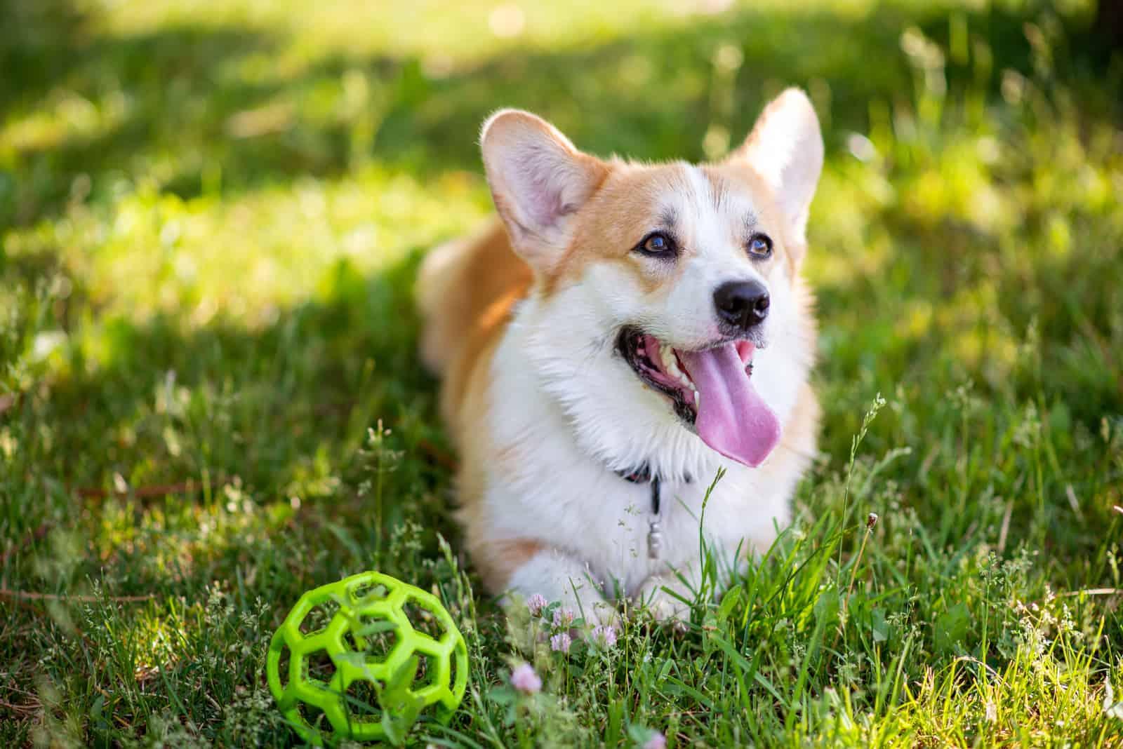 Corgi-Hund liegt mit einem Ball auf dem Rasen