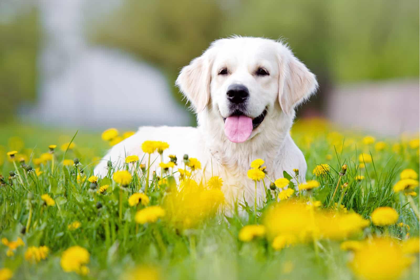 Golden Retriever Hund im Sommer im Freien