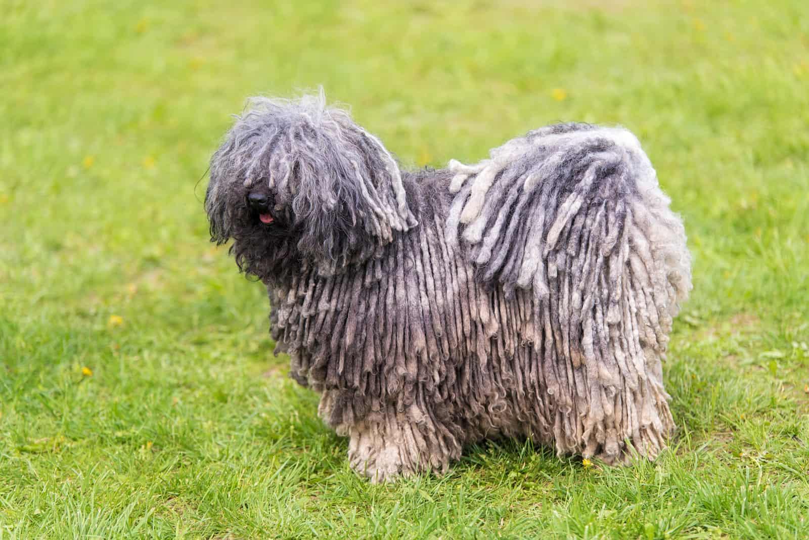 Grauer ungarischer Puli-Hund im grünen Park