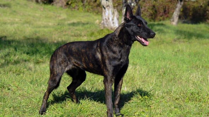 Porträt des niederländischen Schäferhundes