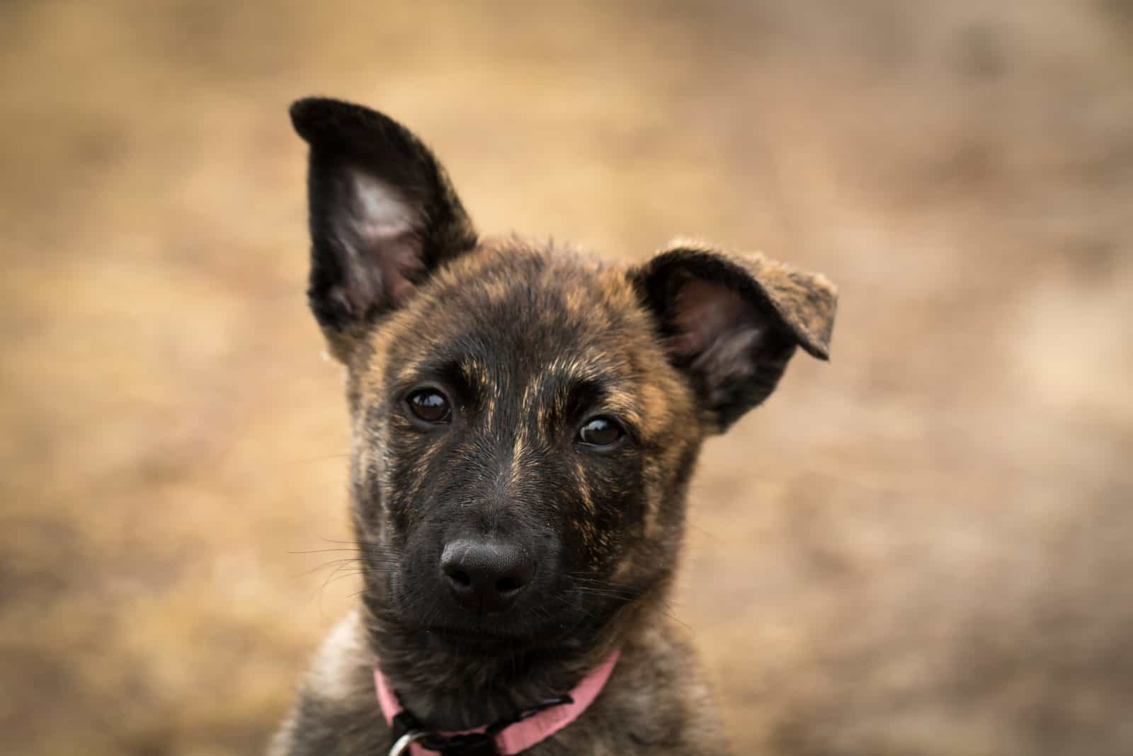 Holländischer Schäferhund Welpe mit einem süßen hängenden Ohr