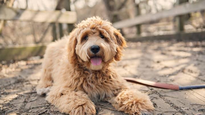 Goldener Labradoodle-Hund draußen in der Herbstsaison