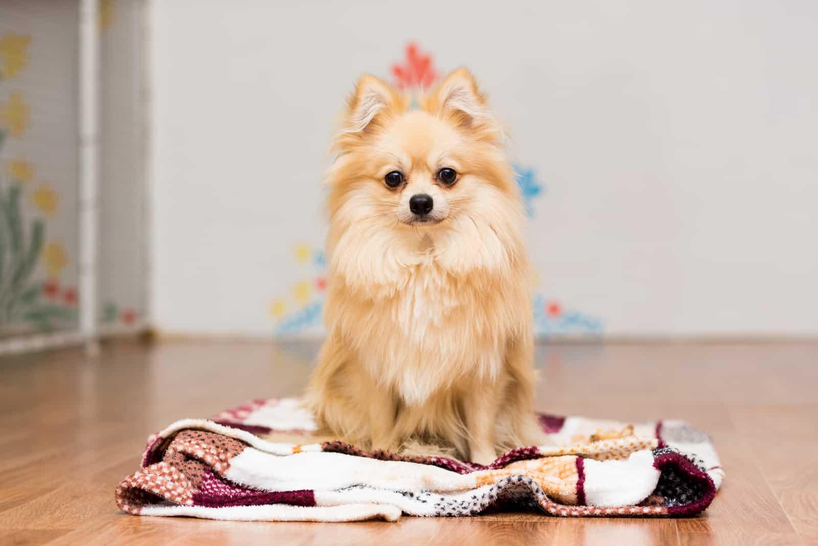 Hund der deutschen Spitzrasse sitzt auf einer Decke