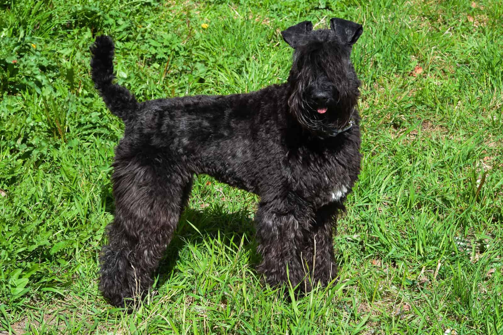 Hunderasse Kerry Blue Terrier Welpe auf dem Gras