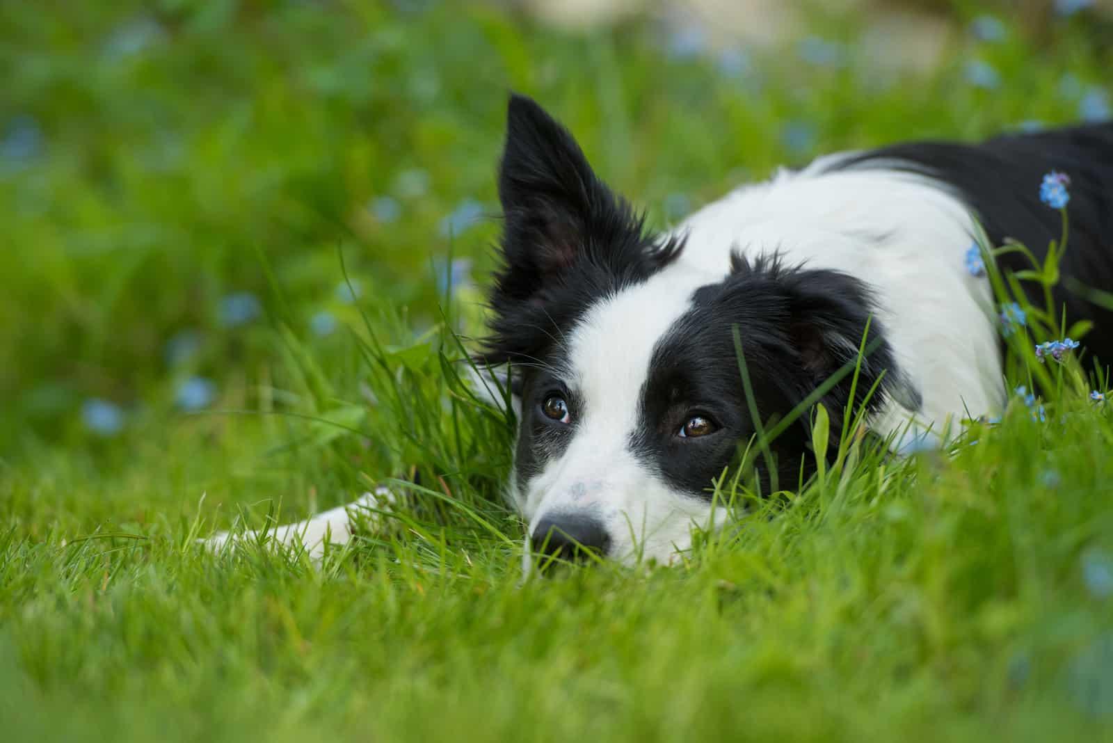 Junger Border Collie Hund auf einer Wiese