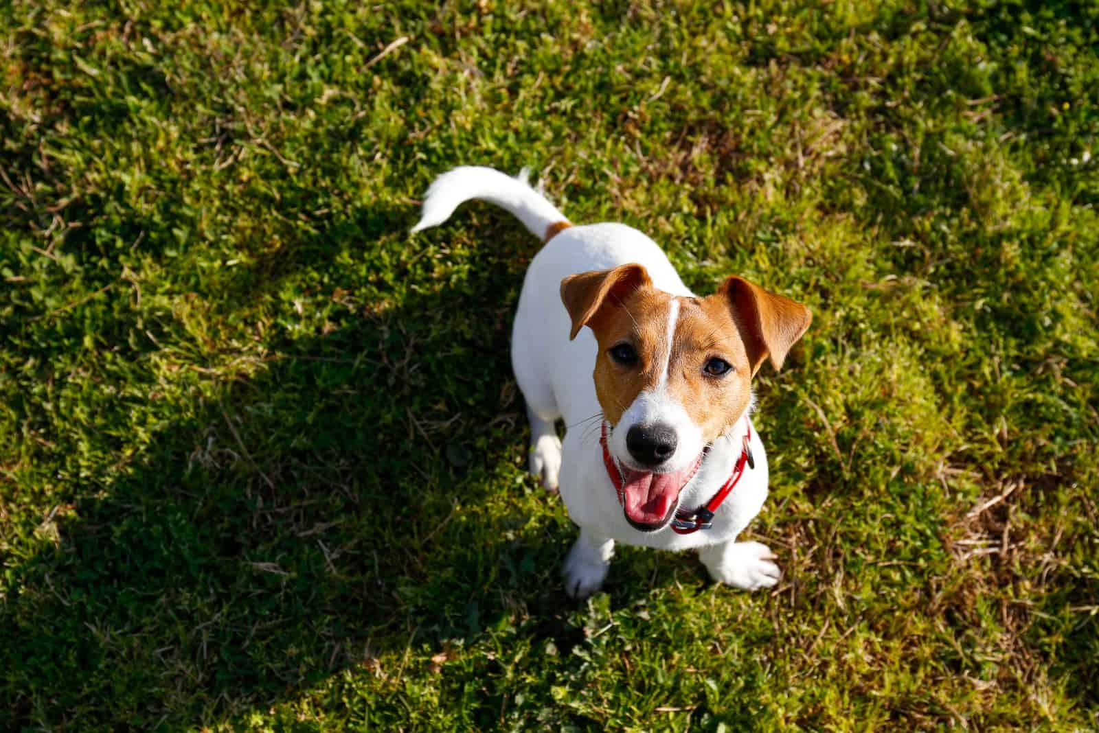 Lustige kleine Jack-Russell-Terrier-Welpen, die im Park spielen