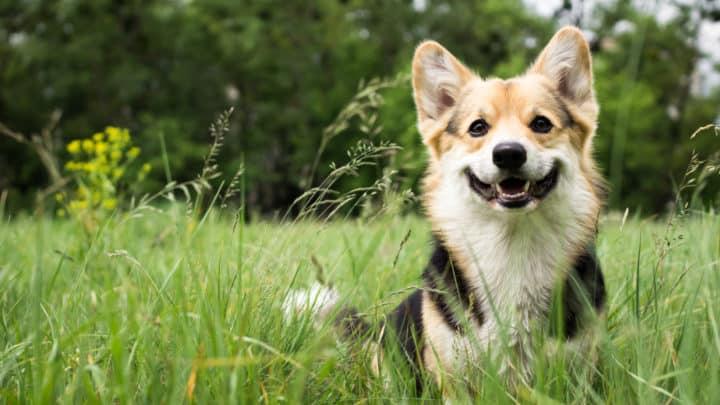 reinrassiger walisischer Corgi-Hund im Freien im Gras