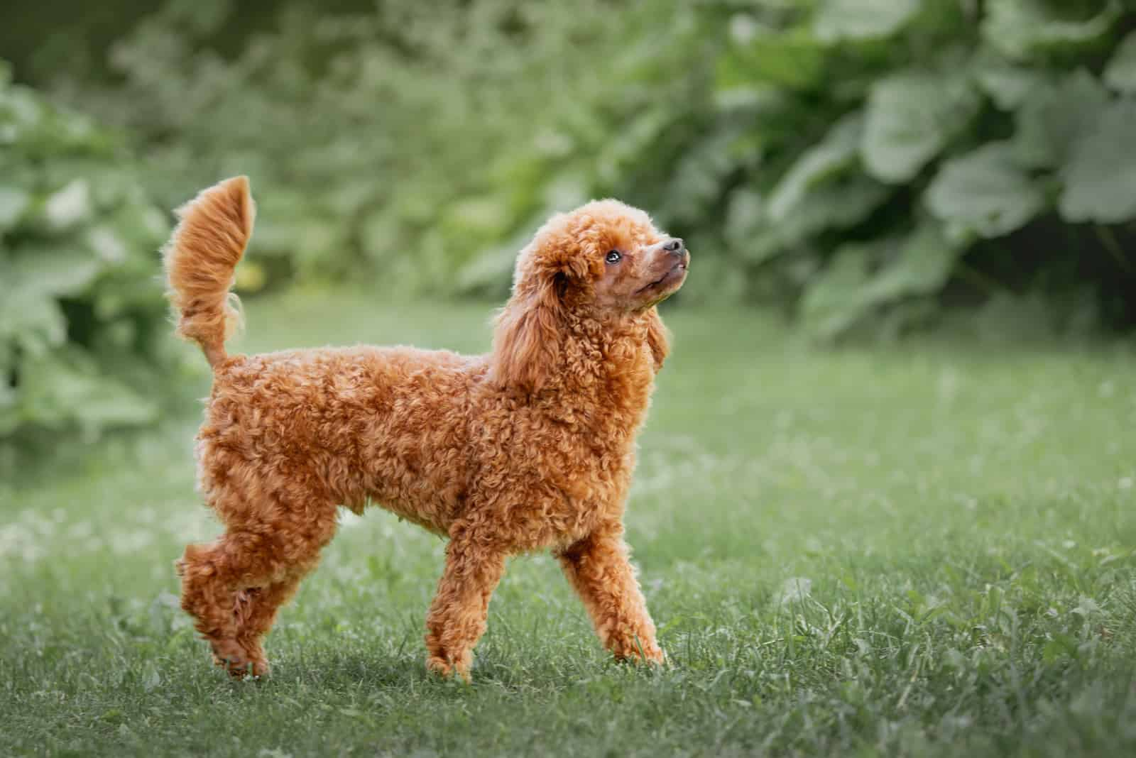 Miniature poodle puppy in the park