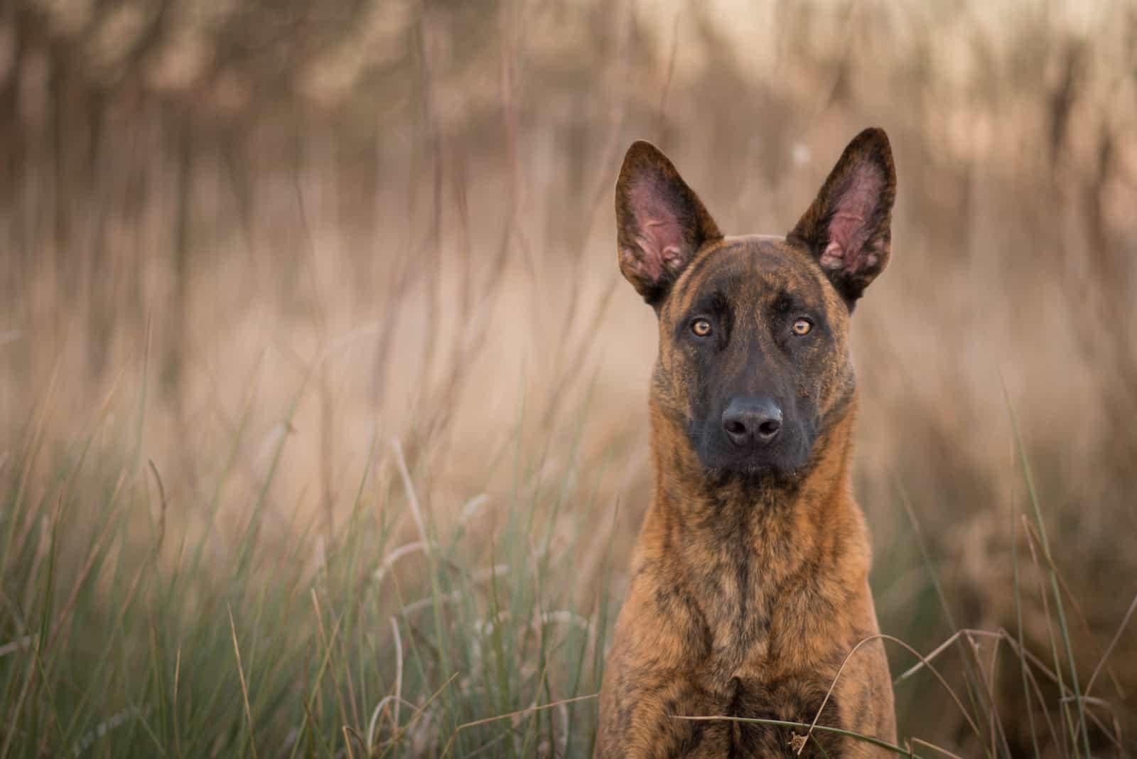 Niederländischer Schäferhund im Freien in der Natur