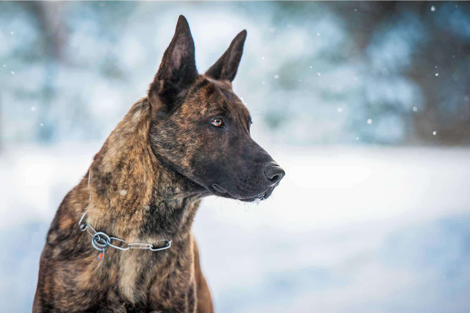 Porträt des holländischen Schäferhundes im Winter