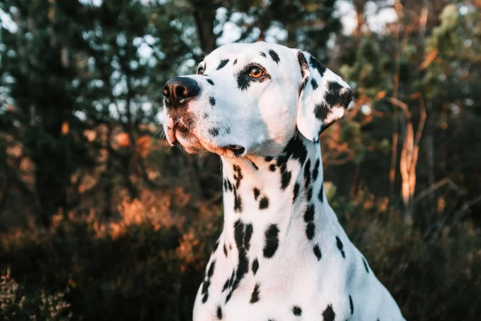 Porträt des süßen Dalmatinerhundes