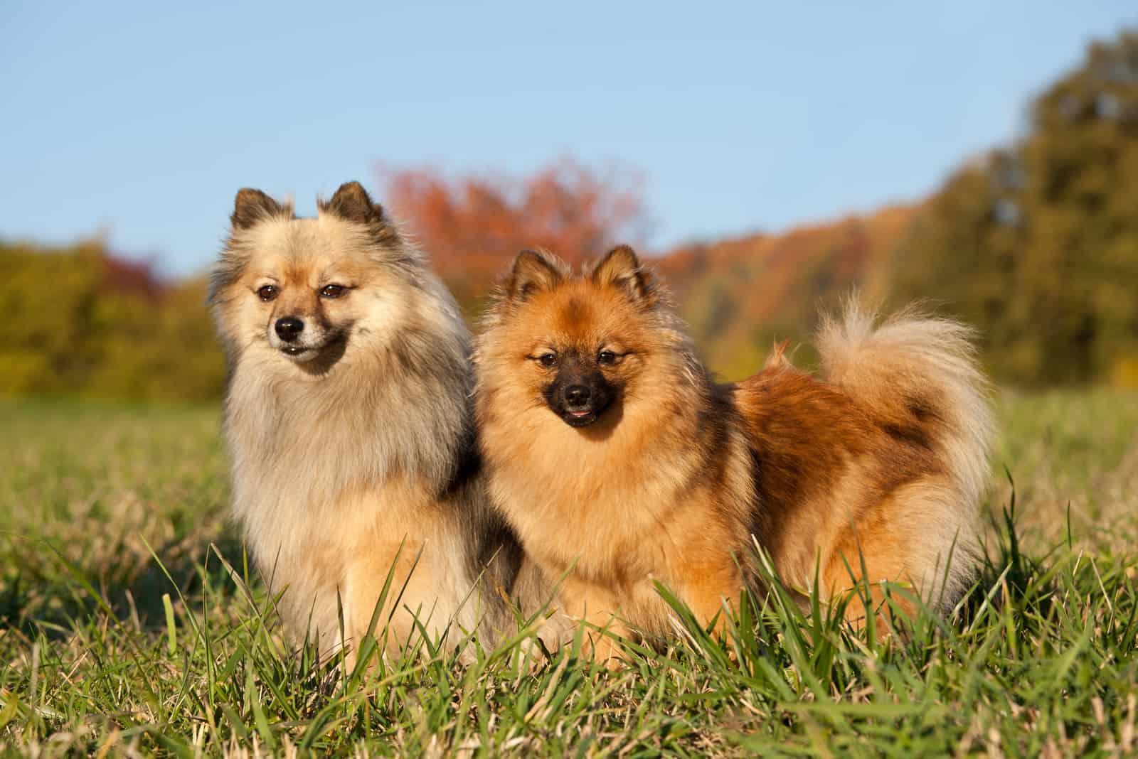Portrait von zwei netten Spitzhunden