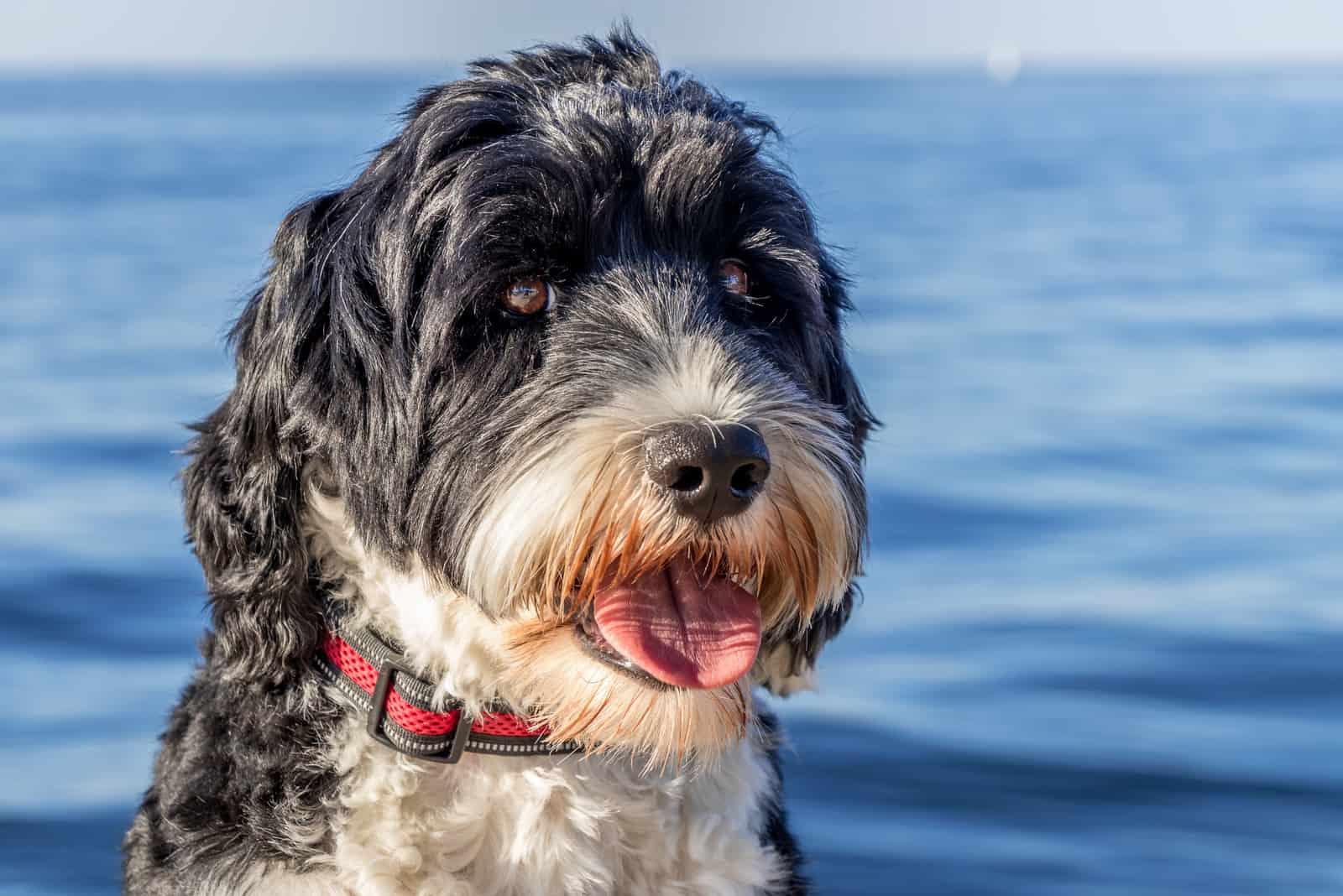 Portugiesischer Wasserhund am Meer