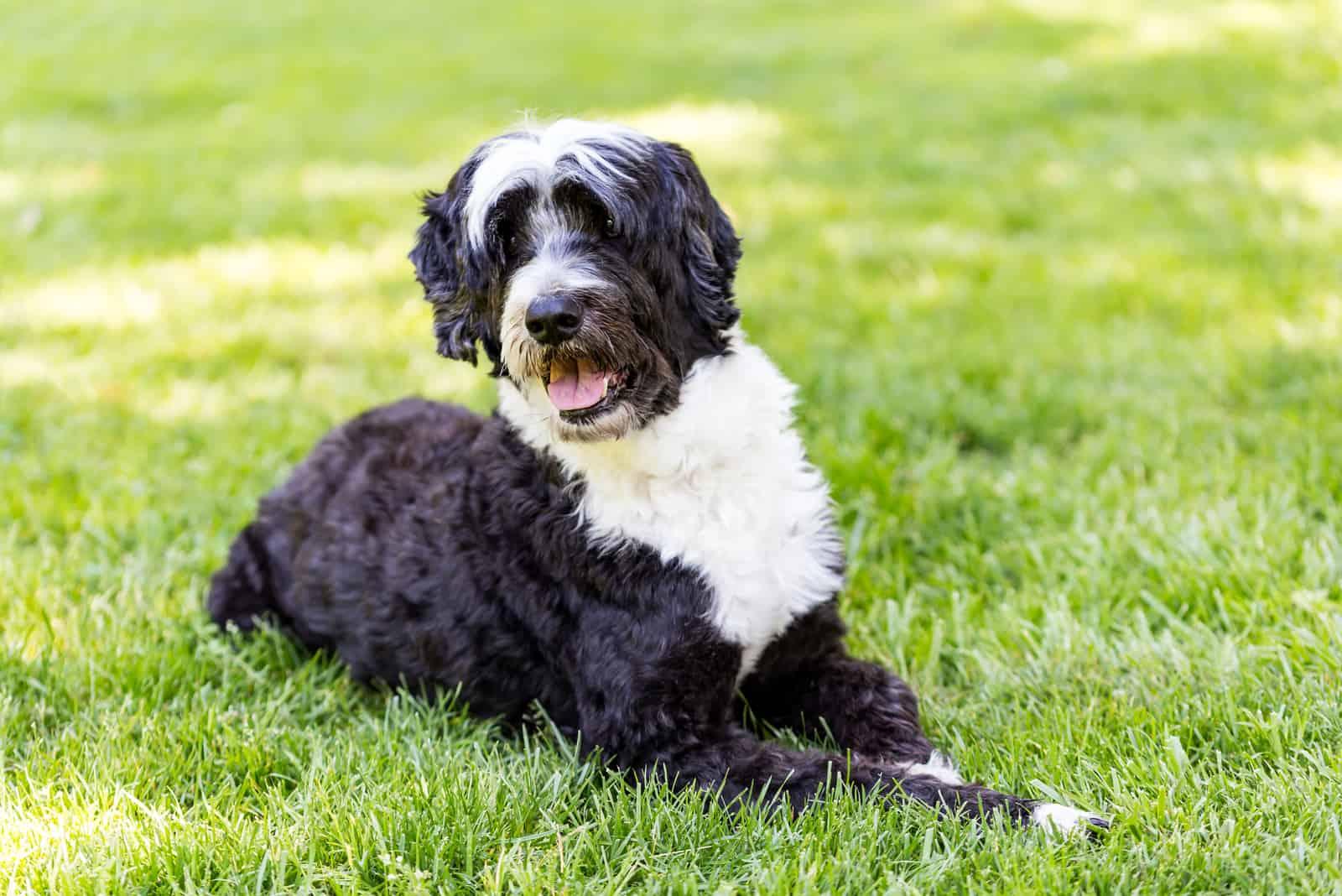 Portugiesischer Wasserhund im Gras liegend