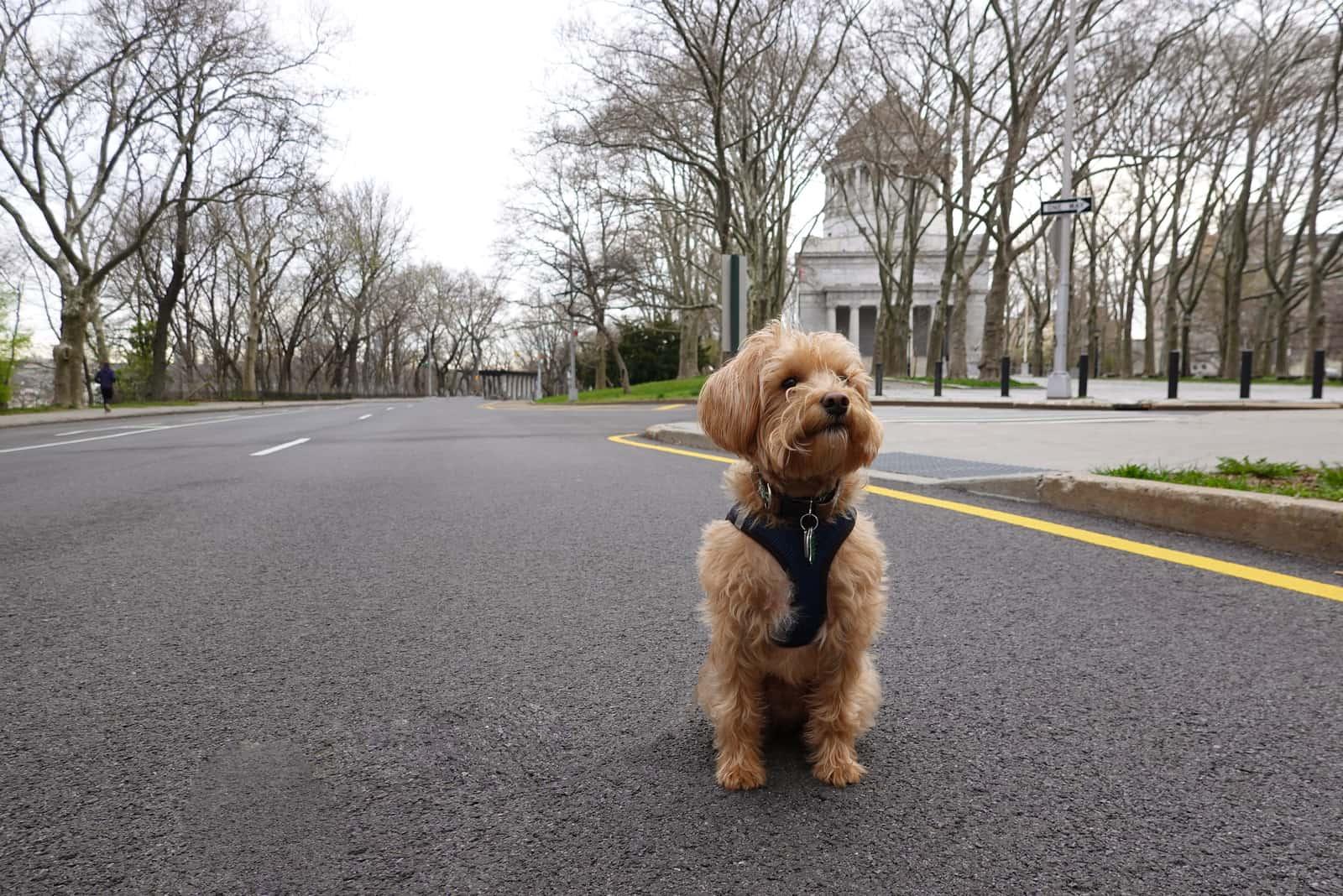 Schnoodle Hund draußen auf der Straße