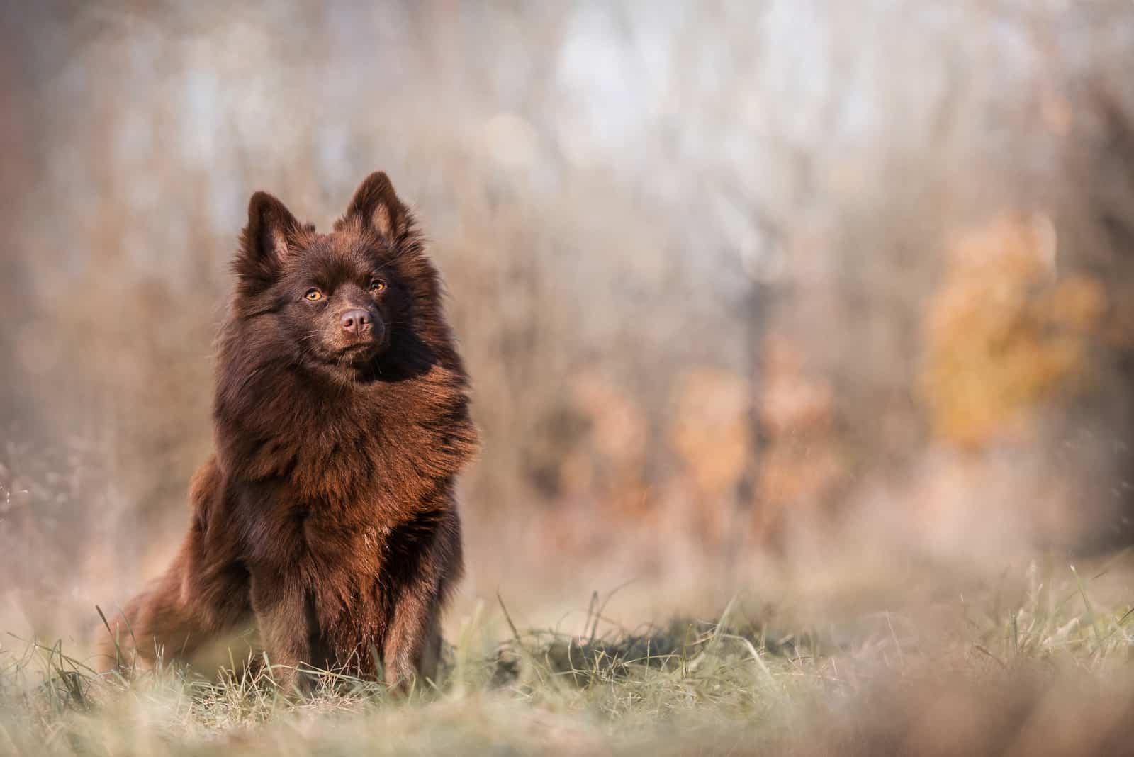 Schöner brauner deutscher Spitzhund im Freien