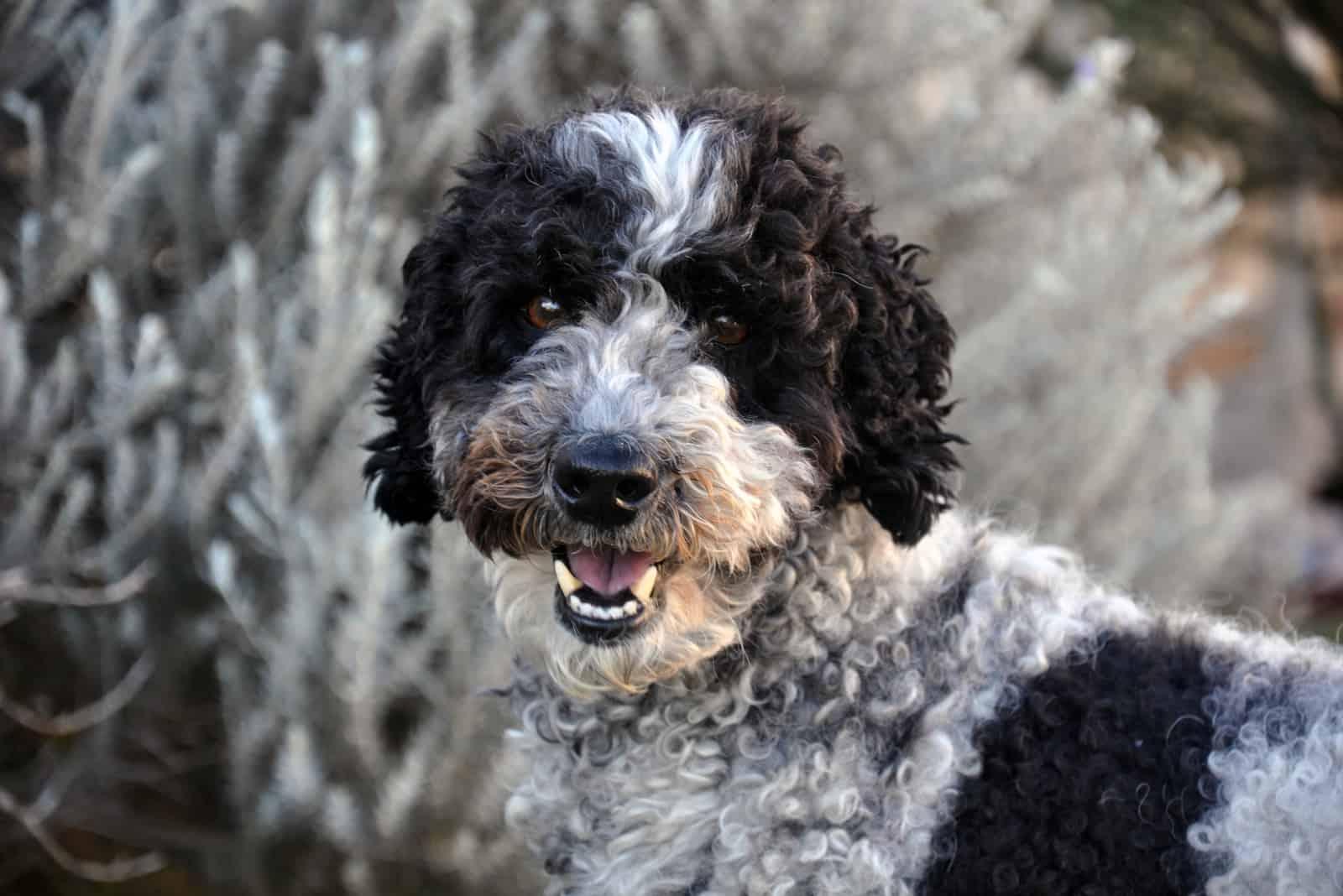 Schwarz-Weiß-Schnudelhund im Freien
