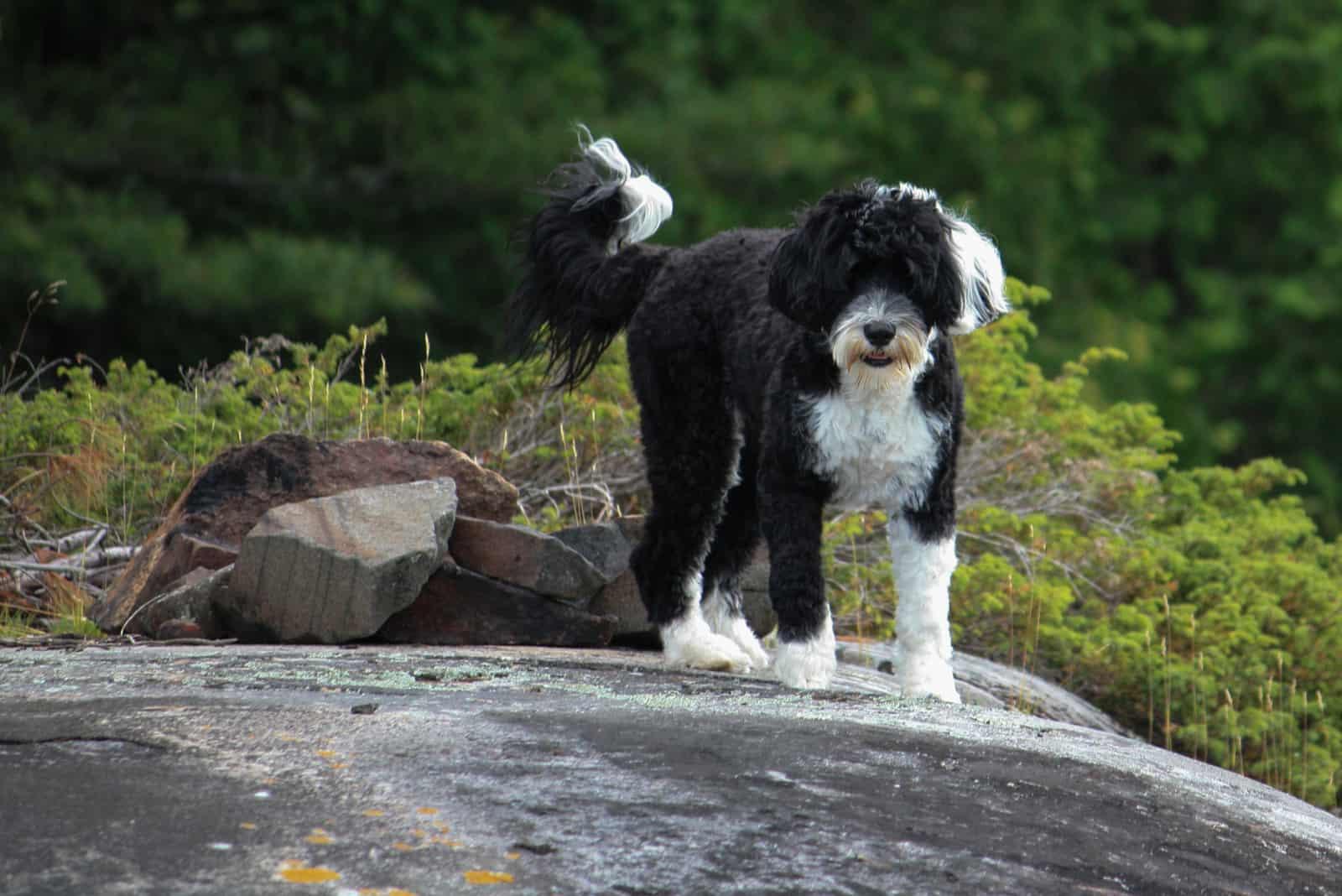 Schwarz-weißer portugiesischer Wasserhund, der auf einem Felsen im Wald steht