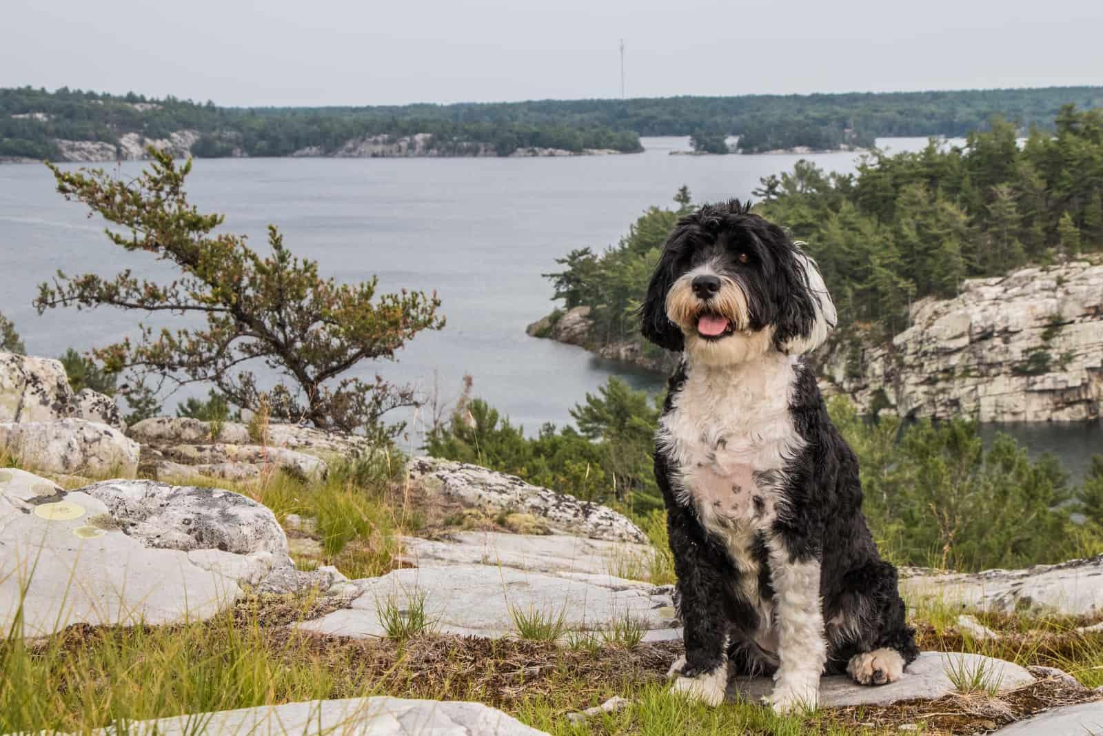 Schwarz-weißer portugiesischer Wasserhund