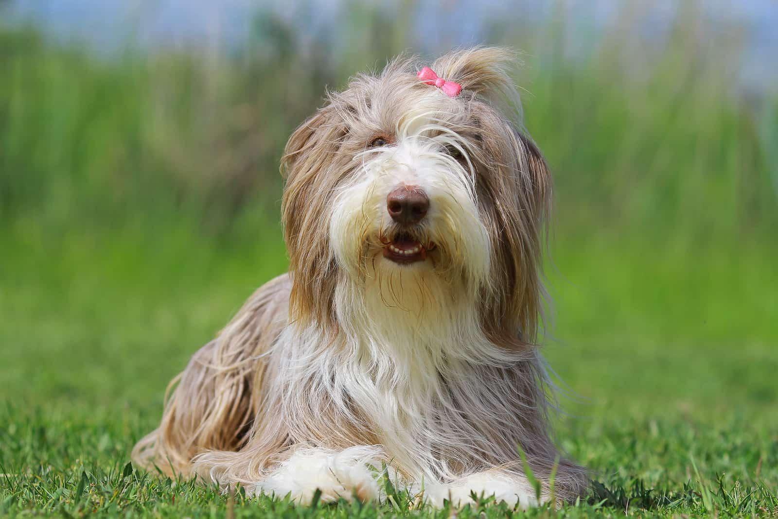 bärtiger Collie-Hund liegt auf dem Gras