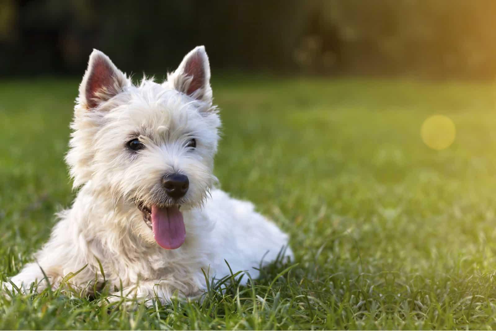 glücklicher Hundewelpe wie im Gras liegend