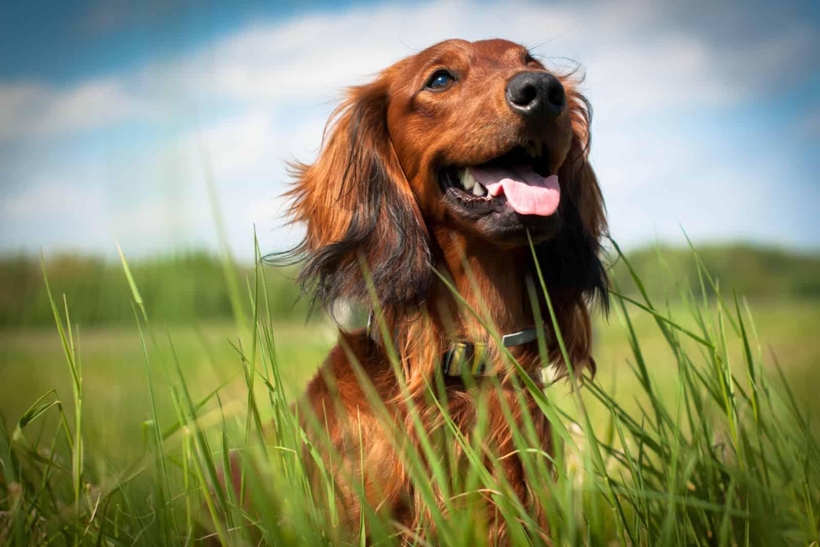 glücklicher brauner Hund im Freien