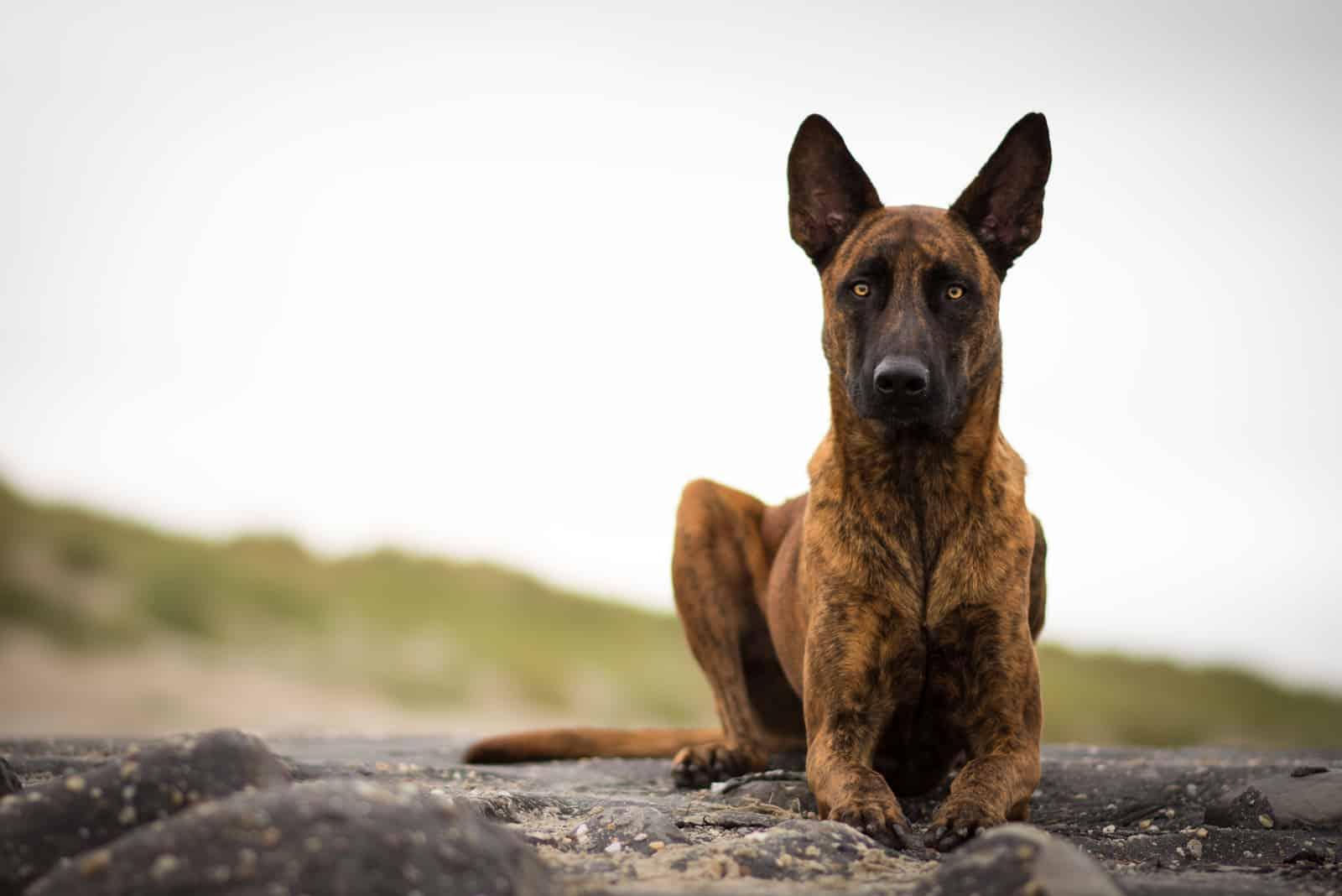 holländischer schäferhund im freien