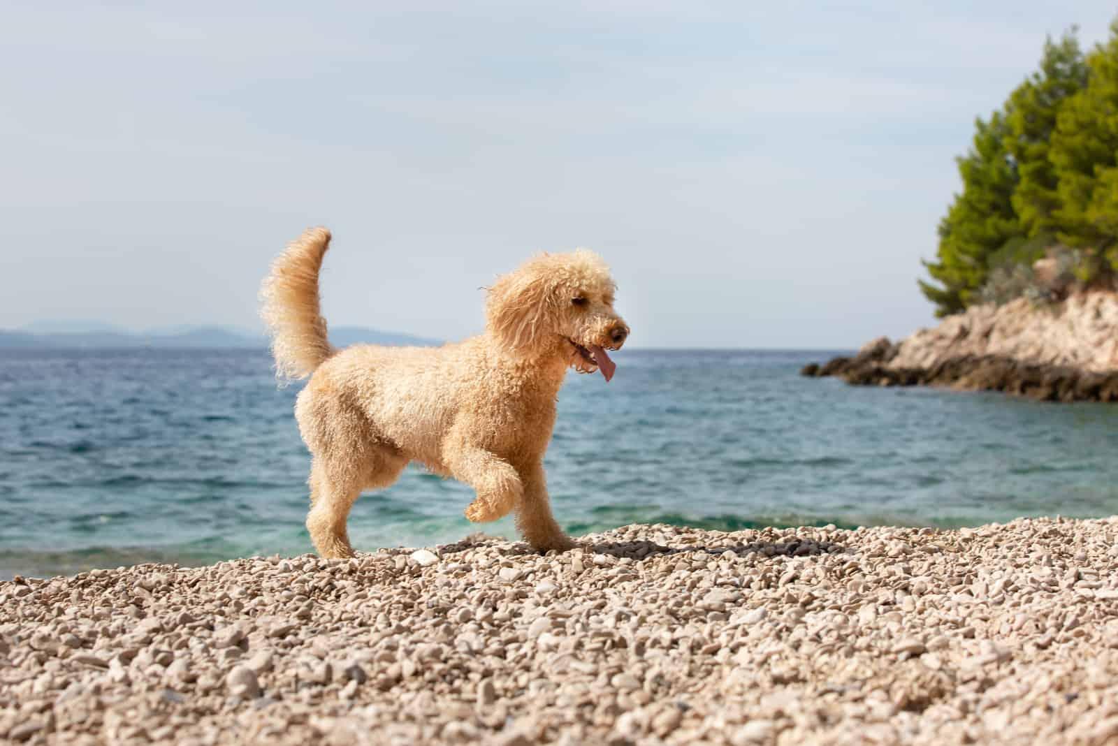 junger Aprikosenpudelhund am Sonnenstrand