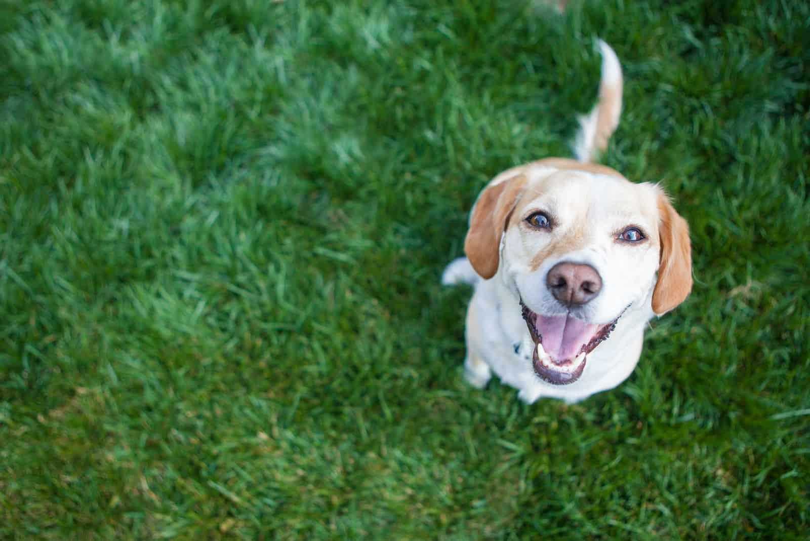 lächelnder schöner Hund auf dem Gras