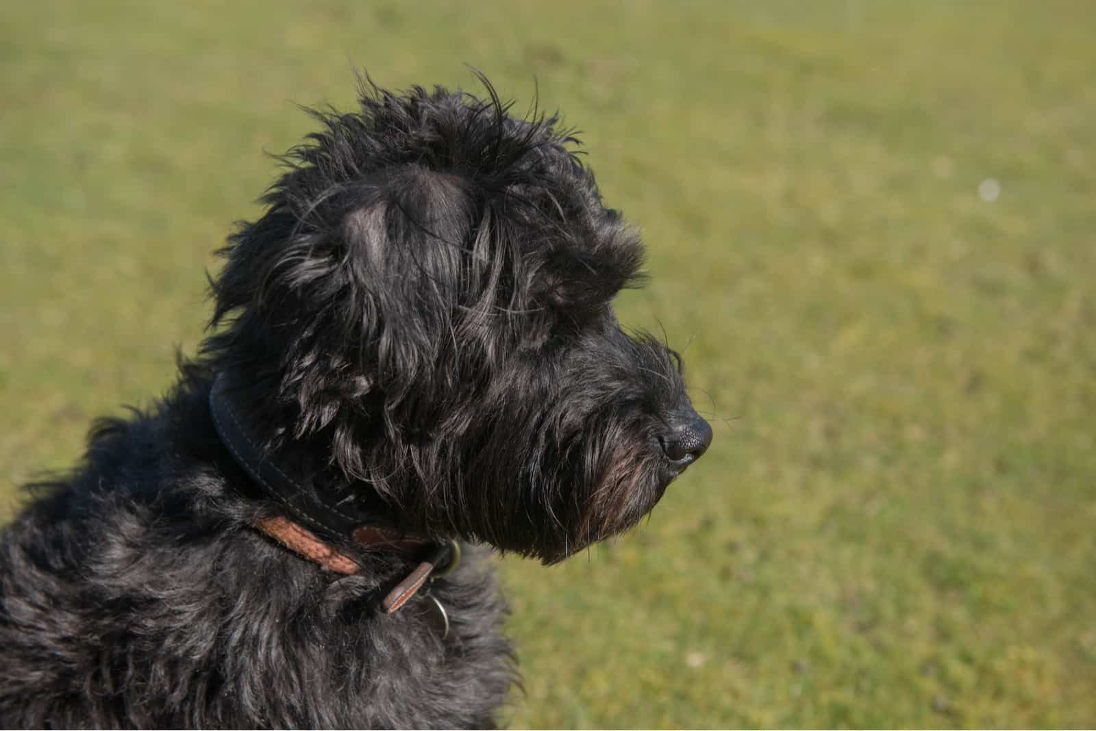 schwarzer schnoodle hund draußen auf dem gras
