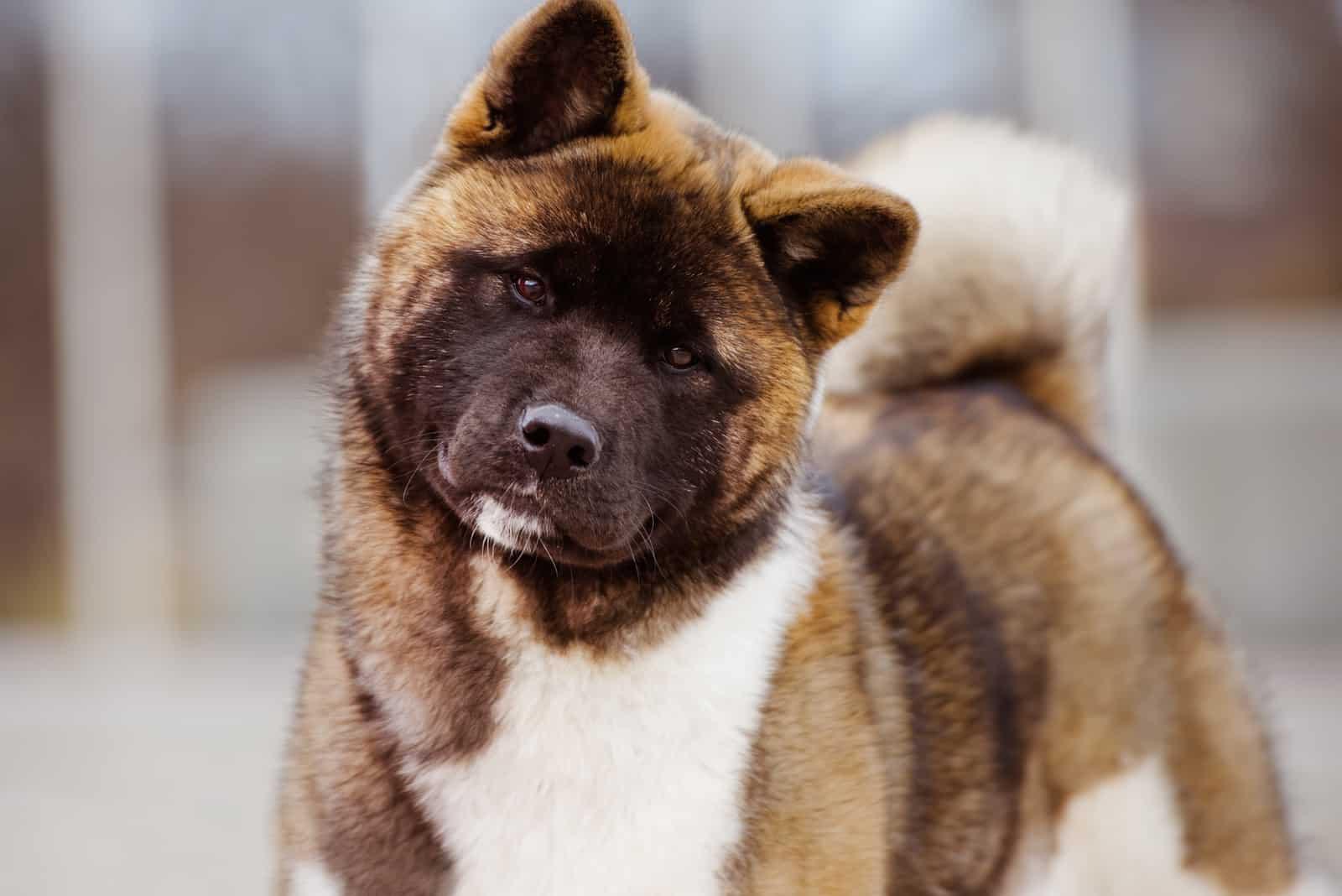 Amerikanisches Akita-Hundeporträt im Freien