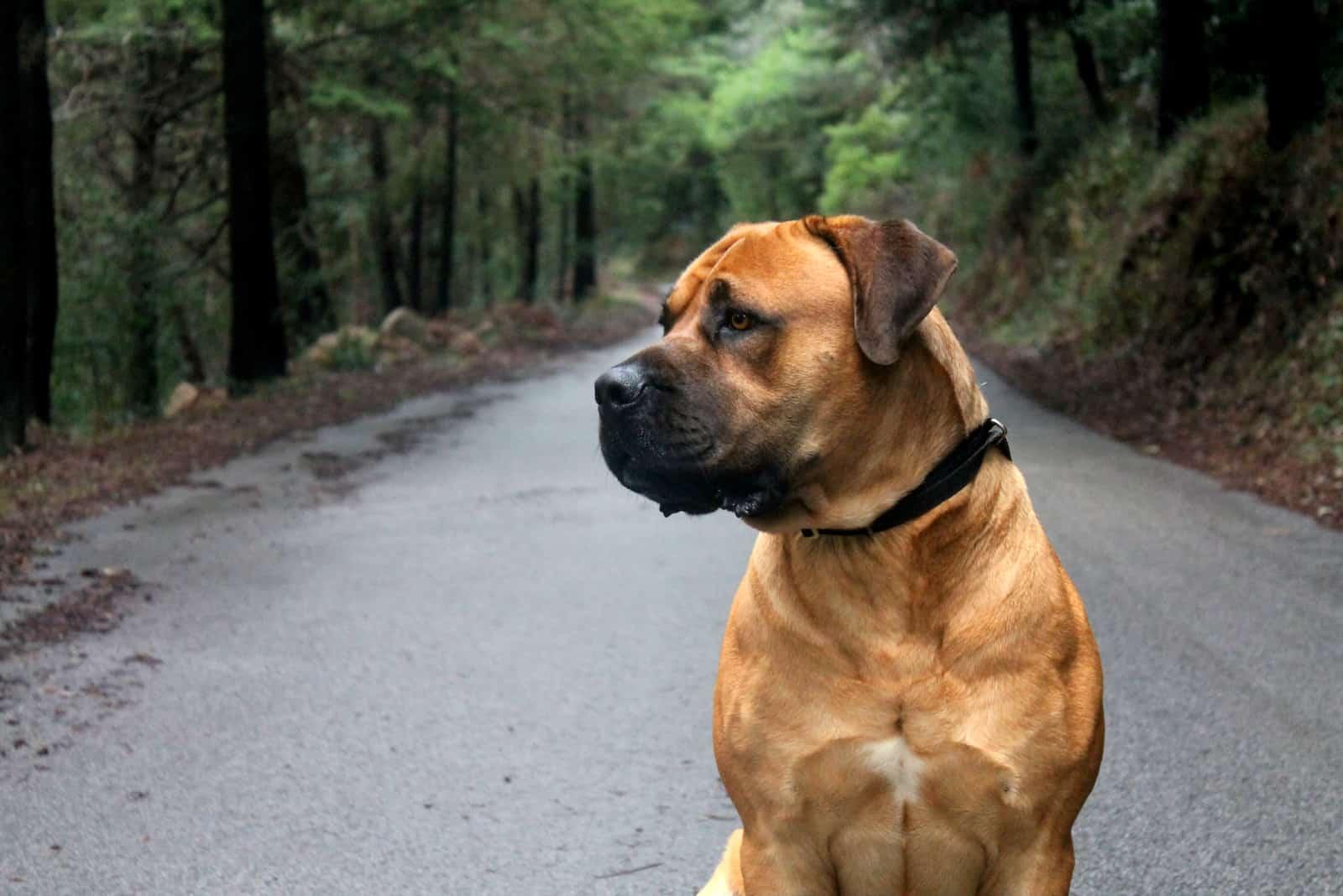 Boerboel Hund sitzt mitten auf der Straße in einem Wald