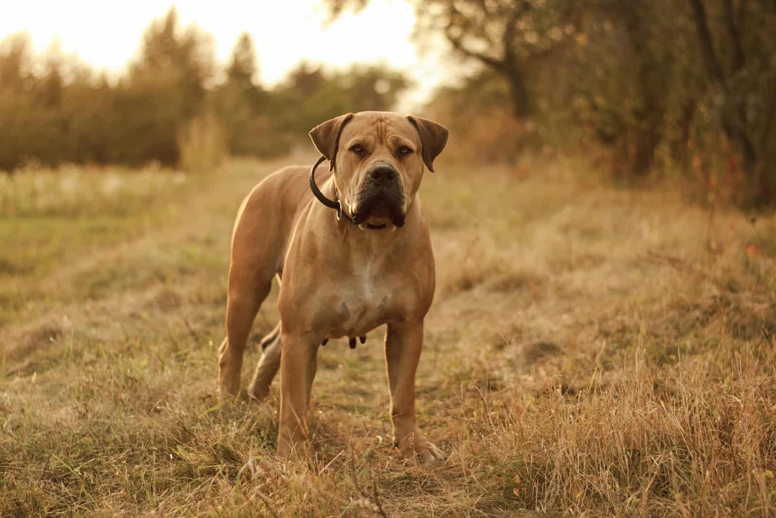 Boerboel-Hund steht im Wald