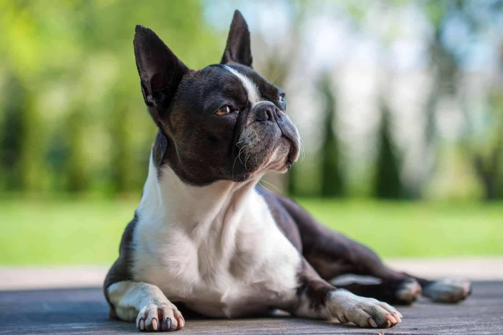 Boston Terrier Hund auf brauner Terrasse