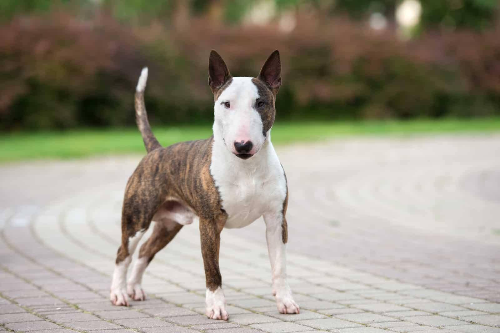 Bullterrier Hund im Freien stehen