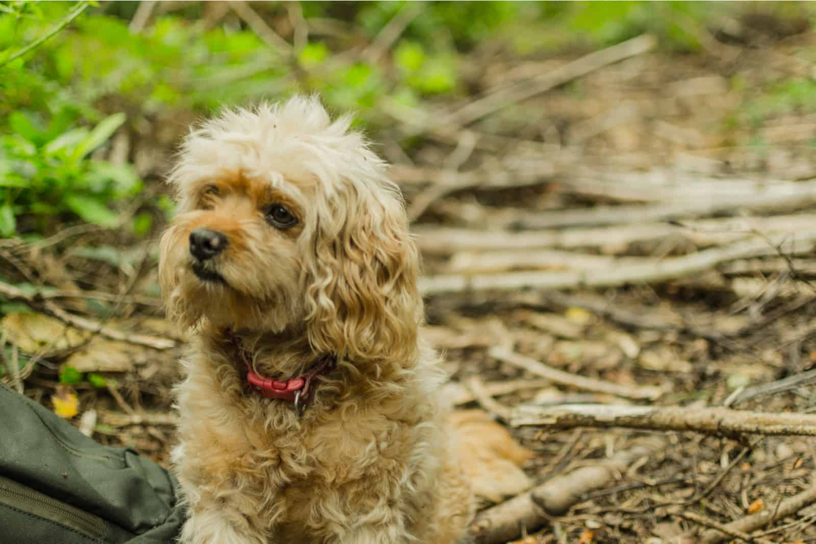 Cavapoo-Hund im Wald