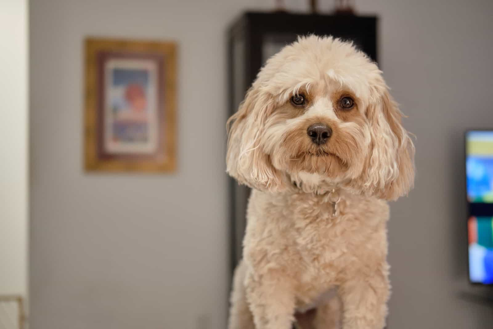 Cavapoo Hund zu Hause