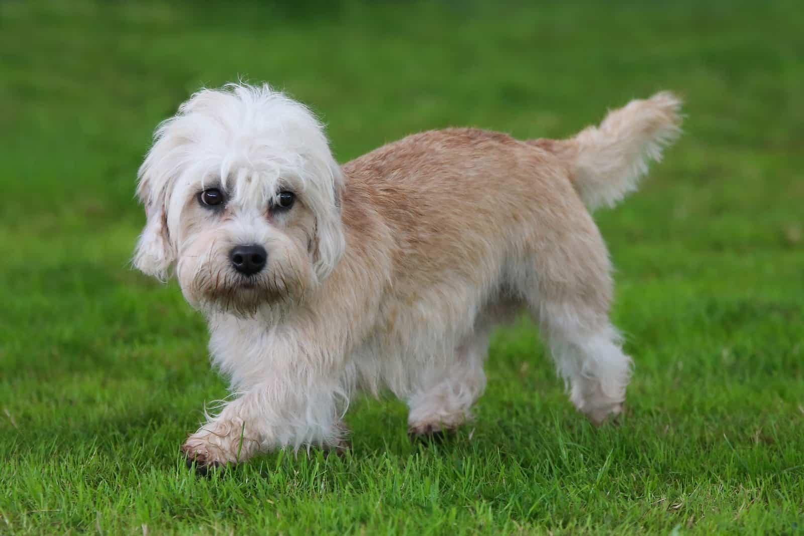 Dandie Dinmont Terrier läuft auf dem Gras
