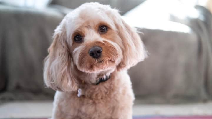 süßer Cavapoo-Hund im Freien